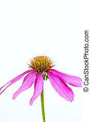 锥形物花, echinacea purpurea