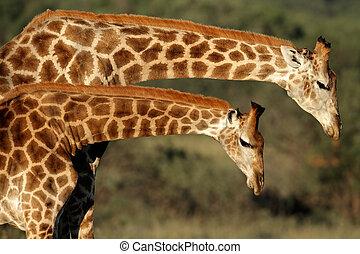 長頸鹿, 相互作用