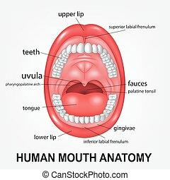 開いた, 解剖学, 口, 人間, 説明