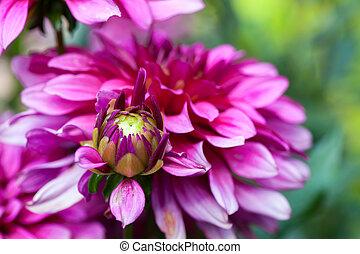 開くこと, の, 秋, アスター, 花, 庭で