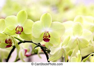 開花, 蘭花