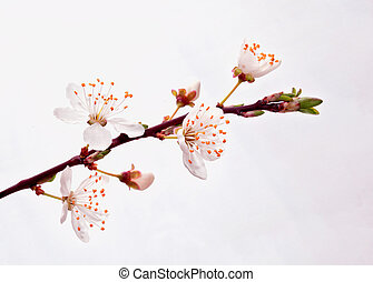 開花, sakura, branch.