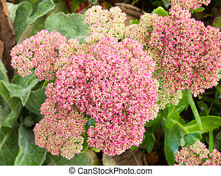 關閉, ......的, 開花, 粉紅色, 灌木, 很多, 小, 花