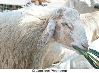關閉, ......的, sheep