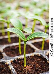 關閉, 綠色, 黃瓜, 秧苗, 上, 溫室