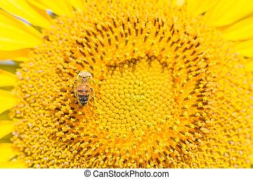 關閉, 蜜蜂, 上, 向日葵