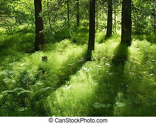 陽光, 在, the, understorage, ......的, a, 針葉樹, 森林, 在, 瑞典