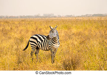 隔離された, シマウマ, 中に, ∥, サバンナ, 田舎, の, ナイロビ, 公園, 中に, kenya