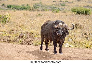 隔離された, バッファロー, 中に, ∥, サバンナ, 田舎, の, ナイロビ, 公園, 中に, kenya