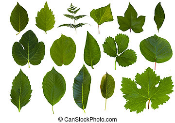 隔離された, 緑の葉, コレクション