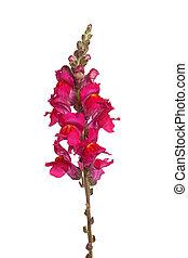 隔離された, 茎, 単一, 白い花, shapdragon, 赤