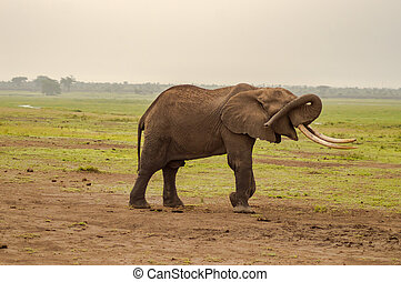 隔離された, 象, 隠ぺい, 彼女, 目, ∥で∥, 彼女, トランク, 中に, ∥, サバンナ, の, amboseli, 公園, 中に, kenya