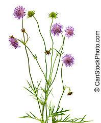 隔離された, 針差し, 花, 植物