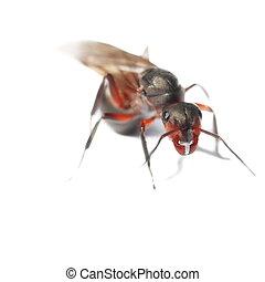 隔離された, 飛ぶ, 赤いアリ, 白