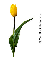 隔離された, 黄色いチューリップ, 単一, 背景, 白