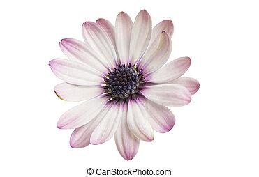 隔離された, osteospermum, デイジー, 花