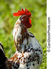 雄ん鶏, 上に, 自然, 背景