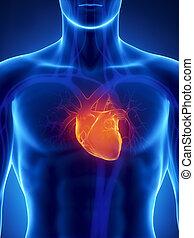 集中, 上, 人的 心臟