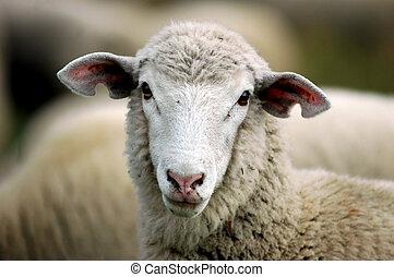 雌羊, 子羊