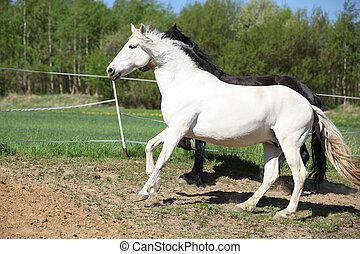 雌馬, andalusian, 白, 驚かせること
