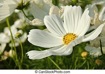 雏菊, 花