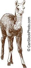 雕刻, 羊駝, 插圖, 圖畫, 崽, 美洲駝, 嬰孩, guanaco, 或者