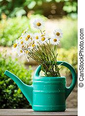 雛菊, 花, 在, 花園, 噴壺