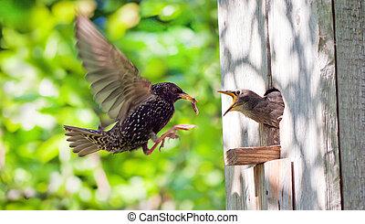 雛鳥, 他的, starling