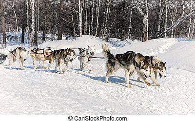 雪, 動くこと, 冬, そり犬