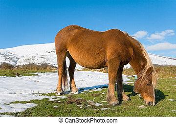 雪, 牧草, 馬