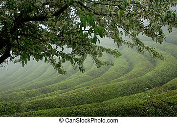 霧が深い, お茶