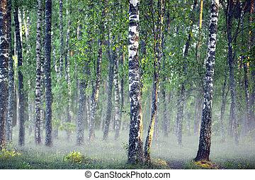 霧が濃い, カンバの木, 森林, 朝