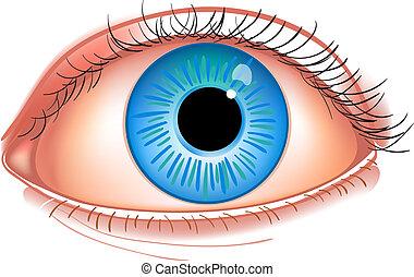 青い目, 隔離された, イラスト, 現実的, ベクトル, 人間, close-up., 白, photorealistic
