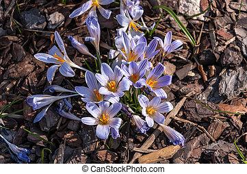 青い真珠, 春, natural., バックグラウンド。, ぼんやりさせられた, クロッカス