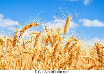 青い空, 小麦, 金, フィールド