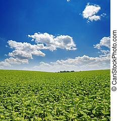 青い空, 海原, フィールド, 緑, 下に, ひまわり