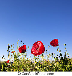 青い空, 背景, ケシ, 花, 赤