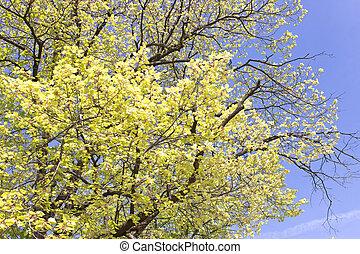 青い空, 葉, 木, 黄色, 上に