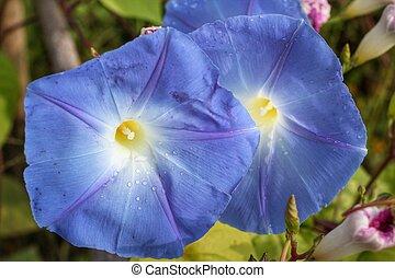 青い花, 栄光, 朝