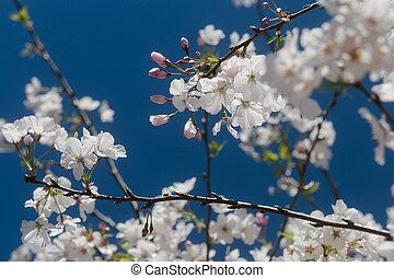 青い花, 空, 木のフルーツ, 背景, 白, 花