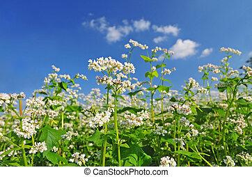 青い花, 空, 背景, ダッタンソバ