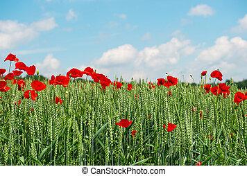 青い花, sky., 上に, フィールド, 緑, ケシ, 草, 赤
