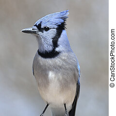 青い鳥, カケス