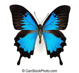 青い morpho