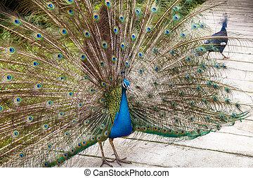 青い peafowl, indian