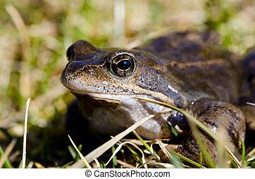 青蛙, 眼睛, 宏, closeup, 在中, 潮湿, 两栖, 动物
