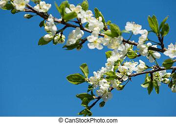 青, さくらんぼ, 空, 木, に対して, 咲く