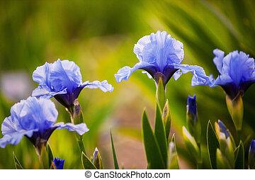 青, アイリス, 花, 庭, 成長する