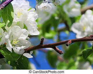 青, アップル, 写真, 日光, 空, 木, 背景, 春, 白い花