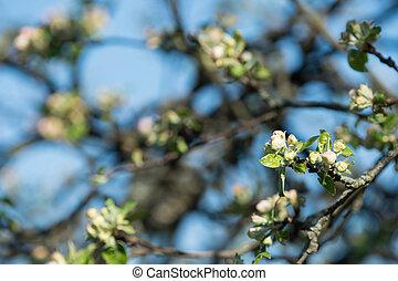 青, アップル, 空, 木, に対して, 咲く